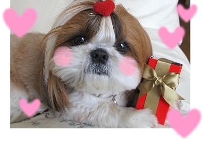 シーズー犬まろんからバレンタイン