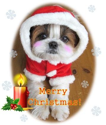 シーズー犬まろんよりMerry Christmas!