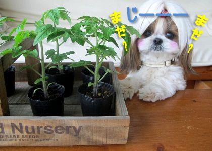 トマトの成長が待ちきれないシーズー犬まろん