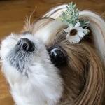 ローダンセマムの髪飾り♪