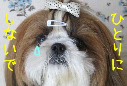 泣き虫シーズー犬まろん