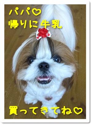 かわいいシーズー犬まろんの写真