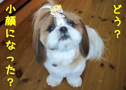 小さくなったシーズー犬まろん