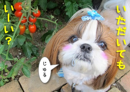 トマトをおねだりするシーズー犬まろん