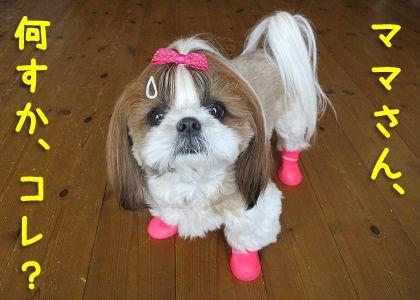 犬用レインブーツを履いて固まるシーズー犬まろん