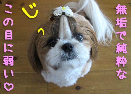 魅力満載なシーズー犬まろん