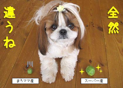 0642_シーズー犬まろんと芽キャベツ