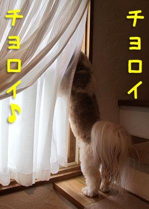 階段の窓から覗き見るシーズー犬まろん