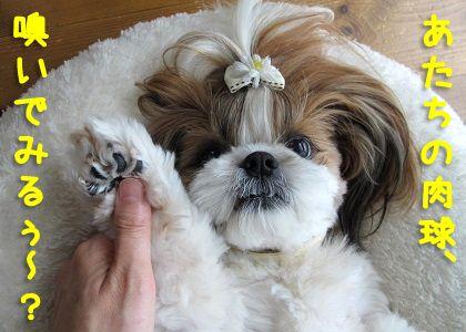 我が家の枝豆シーズー犬まろん