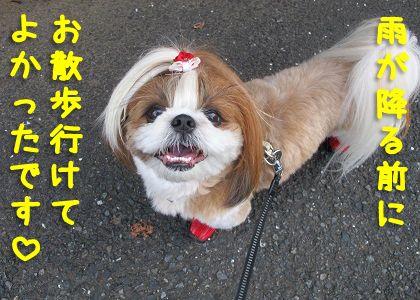 お散歩に行けてご機嫌なシーズー犬まろん