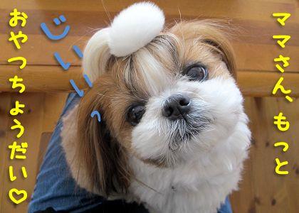 シーズー犬まろんのまっすぐな目