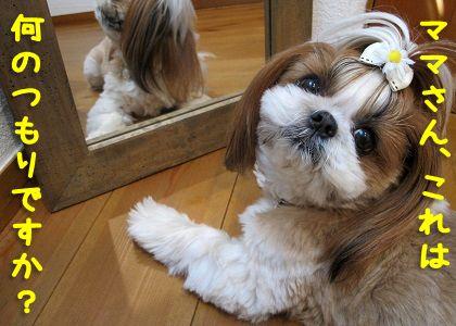 鏡に興味のないシーズー犬まろん