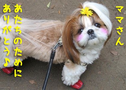 お散歩に行けてうれしいシーズー犬まろん