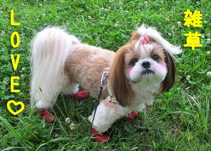 草むら好きなシーズー犬まろん