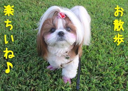 ご機嫌でお散歩するシーズー犬まろん