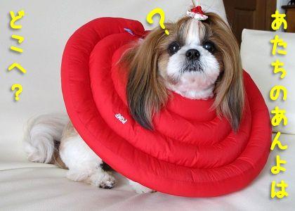 エリザベスカラー装着で足が舐められないシーズー犬まろん