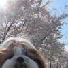 お花見(こんどこそ桜)
