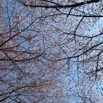 お花見(桜とユキヤナギ)