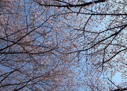 そろそろ桜が見ごろかな~?と思ってお花見に出かけました♪  が、しかし・・・ まだ早かった!?