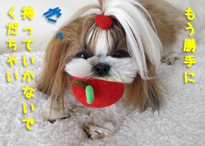 おもちゃをくわえたるシーズー犬まろん