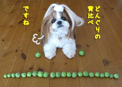 並んだ芽キャベツとシーズー犬まろん