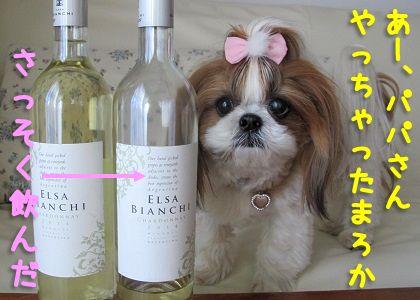 ワインを見つめるシーズー犬まろん