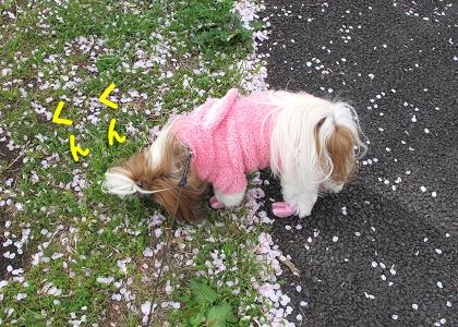 シーズー犬まろんと桜2