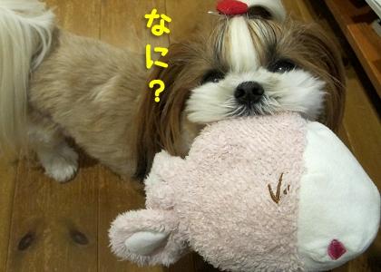 好奇心旺盛なシーズー犬まろん