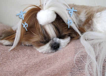 飼い主のお腹の上で寝るシーズー犬まろん