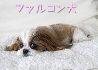 ファルコンそっくりなシーズー犬まろん