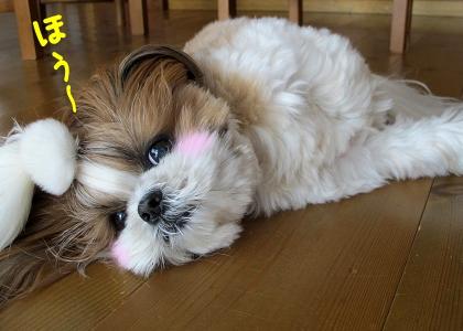 床暖房を堪能するシーズー犬まろん