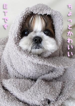 E.T.そっくりなシーズー犬まろん