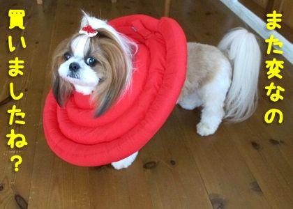 _エリザベスカラーを装着して溜息をつくシーズー犬まろん