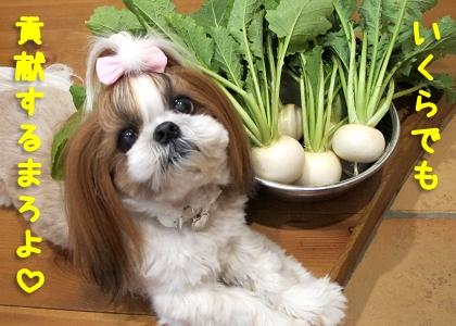 犬糞を提供する気満々のシーズー犬まろん