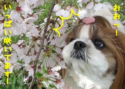 シーズー犬まろんと桜4
