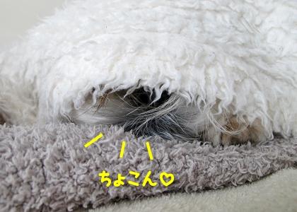 毛布と同化しているシーズー犬まろん
