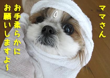 タオルで顔を拭かれたシーズー犬まろん