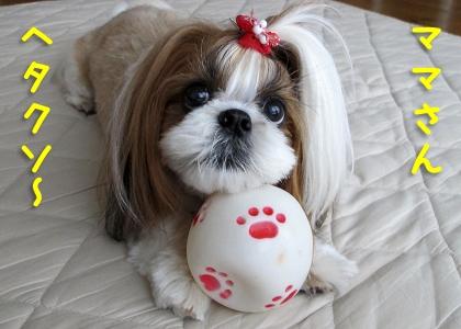 ボール遊びするシーズー犬まろん