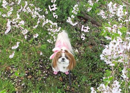 シーズー犬まろんと桜6