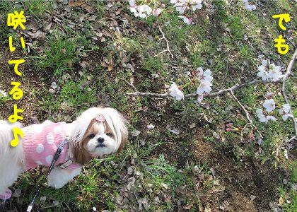 桜とシーズー犬まろん