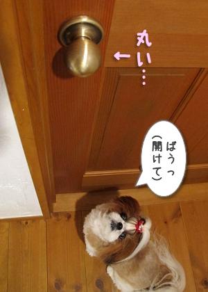 ドアを開けろと吠えるシーズー犬まろん