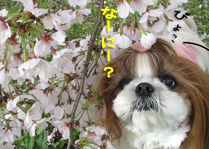 シーズー犬まろんと桜3