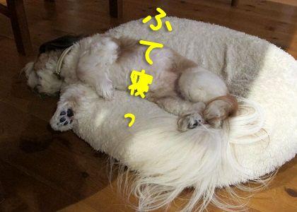 ふて寝したシーズー犬まろん