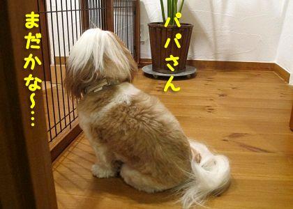 パパの帰りを待つシーズー犬まろん1