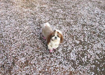 散った桜とシーズー犬まろん