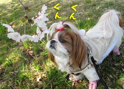 桜の匂いを嗅ぐシーズー犬まろん