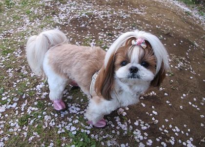 桜の花びらとシーズー犬まろん