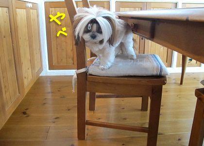 椅子の上に乗るシーズー犬まろん