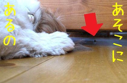 ソファの下のボーロを見つけたシーズー犬まろん