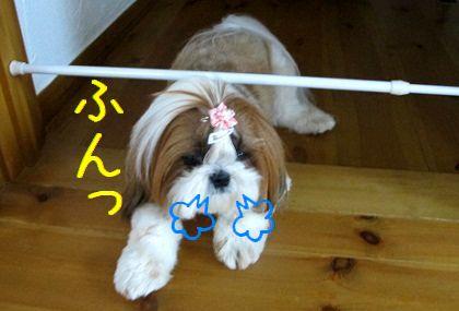 リンボーダンスなシーズー犬まろん
